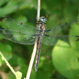 Great Blue Skimmer - Libellula vibrans (female)