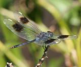 Four-spotted Pennant - Brachymesia gravida