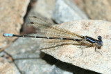 Blue-ringed Dancer - Argia sedula