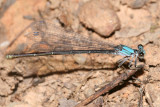female Powdered Dancer - Argia moesta