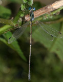 Slender Spreadwing - Lestes rectangularis