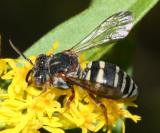 Epeolus scutellaris