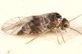 Amphigerontia sp.
