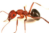 Alleghany Mound Ant - Formica exsectoides