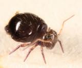 Allacma purpurescens