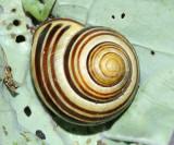 Grove Snail / Brown-lipped Snail - Cepaea nemoralis