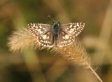 Common Checkered-Skipper - Pyrgus communis