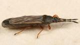 Saltmarsh Chinch Bug - Ischnodemus falicus