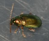 Crepidodera nana