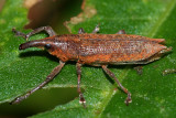 Lixus rubellus
