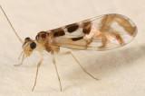 Graphopsocus cruciatus
