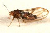 Phylloplecta tripunctata (male)
