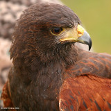 Harris Hawk 1