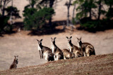 Roos in the Wild