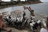 Australian Pelicans