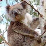 Shall I go to sleep or eat more Eucalyptus?