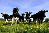 Heifers In The Buttercup Meadow