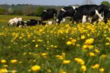 Heifers In The Buttercup Meadow 2