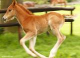 Fast Foal