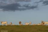 Charolais' At Sundown 2