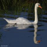 Swan Neck Ripple