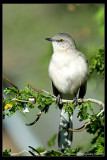 Mockingbird_KRV5208.jpg
