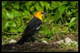 _KRV0287 Yellow-headed Blackbird.jpg