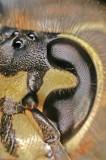 Wasp Eyes 7729.jpg
