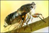 singing cicade  (cropped image)