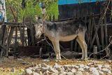 Donkey, Kazakhstan