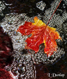 Maple Leaf In Stream