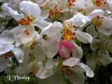 Apple Blossoms In The Rain 2