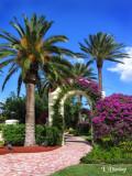 Florida:  Walkway With Bougainvillea