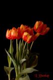 Tulips On Black 2