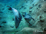 Harbor Seals Underwater