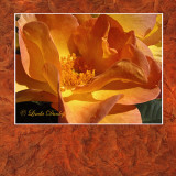 Russet Matted Rose