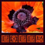 Poppy Detail Graphic