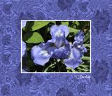 Matted Blue Iris