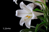 Easter Lilies On Black 1