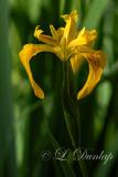 Wild Yellow Flag Iris 2