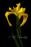 218 - Wild Yellow Flag Iris Three