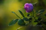 237 - Wild Rose In the Evening Sun