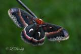 Cecropia Moth 1