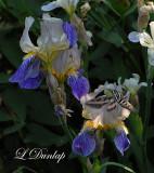 Hummingbird Sphinx Moth 2