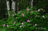 61 - Wild Roses And Birch Trees