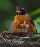 Baby Robins 2nd Day