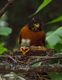 Baby Robins 2nd Day, 2