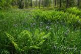 63 - Iris Bog And Ferns, Two