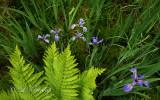 231 - Blue Flag Iris Bog 3