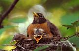 Robin Babies 3rd Day, 2